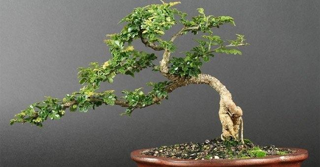 Mỗi loại cây có độ mềm dẻo khác nhau, do đó tùy vào loại cây mà bạn chọn cách thức nhất định để uốn và xác định mức độ tác động.
